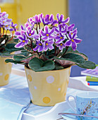 Saintpaulia ionantha (African Violet), purple-white striped