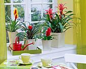 Guzmania, Vriesea in square planters