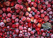 Fruits of Malus (ornamental apple) in hoarfrost