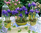 Iris reticulata (dwarf beardless iris) in cups and cereal bowl