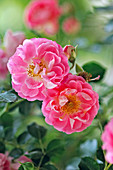 Flowers of Rosa 'Charming', dwarf rose, slightly fragrant, healthy, robust