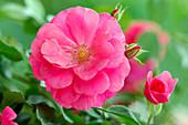 Pink 'Bad Birnbach' (bed rose), often flowering