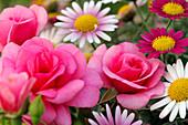 Blüten von Rosa 'Medley Pink' (Rose), Chrysanthemum coccineum