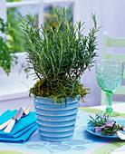 Rosemary (rosemary) in blue planter