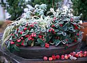 Gaultheria procumbens (fall berry), Carex 'evergold'