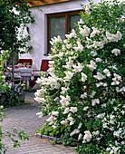 Syringa 'Madame Lemoine' (lilac) on the terrace at the house
