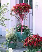Rhododendron (Japanese azalea) in pots on the doorstep