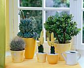 Succulent on the window, Parodia, Graptopetalum