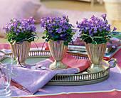 Campanula isophylla (Glockenblumen) in silbernen Bechern auf Tablett