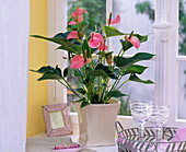 Anthurium 'Pink Champion', in square planter at the window