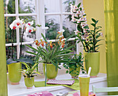 Orchids at the window
