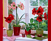 Hippeastrum (Amaryllis) in red and striped at the window