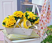 Primula acaulis in yellow tissue paper in wooden basket