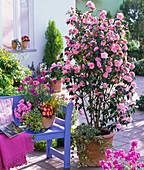 Camellia 'Spring Festival' (pink camellia)