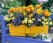 Tulipa 'Flair' (Tulip), Viola wittrockiana (Pansy)