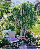 White garden chair next to fragrant white wisteria (wisteria)