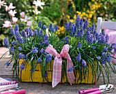 Muscari (Grape Hyacinth) in yellow chip basket
