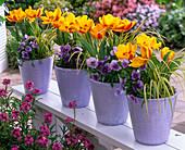 Tulipa 'Flair' (Tulip), Viola wittrockiana Bingo 'Clear Azure'