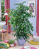 Ficus benjamina as a room tree, Chlorophytum