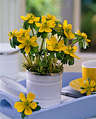Eranthis hyemalis (winter aconite) in ceramic tin on blue tray