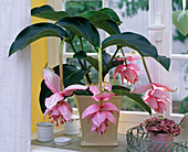 Medinilla, Fittonia by the window, ceramic tins, tray