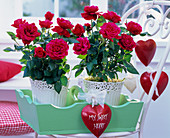 Rose (potted roses) with red hearts
