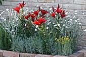 Lilium 'Pixie Red', Lychnis coronaria 'Alba'