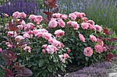 Pink 'Botticelli' (small shrub rose), very healthy