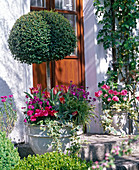 Buxus (Box stems) underplanted with Erysimum (gold lacquer)