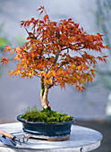 Acer palmatum 'Kotohime' (Japanese fan maple)