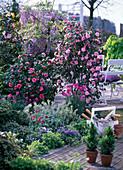 Camellia 'Spring Festival' 'Mrs.Tingley' (Camellia)
