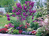 Blooming Syringa 'Andenken an Ludwig Späth' (Lilac)