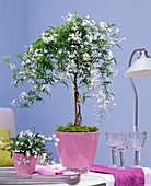 Jasminum polyanthum as a stem in pink planter on the table