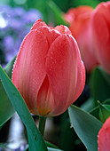 Tulipa 'Pink Impression' (Darwin Tulip)