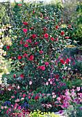 Camellia japonica 'Black Lace' (camellia)