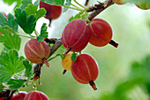Ribes 'Hinnonmäki' red (gooseberry), resistant to mildew