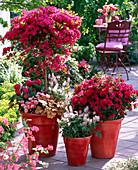 Rhododendron 'Toreador', 'Hino Crimson' (Japanese azalea)