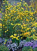 Kerria japonica 'Pleniflora' (Ranunculus Shrub)