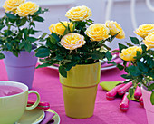 Rose (pot roses), yellow in colorful planters