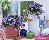 Campanula carpatica 'Blue Ball' (Stuffed Bellflower)