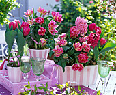 Tulipa 'Peach Blossom', 'Pink Impression' (Tulip)
