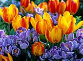Tulipa 'Flair' (Tulip), Crocus 'Pickwick'
