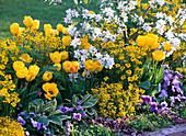 Yellow-white flowerbed with Tulipa (tulip), Erysimum (gold paint), Malus