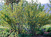 Ribes aureum (gold currant), fragrant yellow flowers