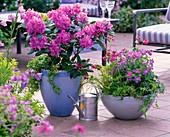 Rhododendron 'Alfred' (Alpenrose), Hedera (Efeu)