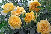 Rose 'Graham Thomas', often flowering, good tea rose fragrance