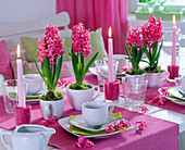 Hyacinthus (hyacinth) in white ceramic cups as a table decoration