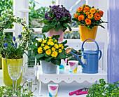 Primula belarina 'Miss Indigo', 'Nectarine', 'Butter Yellow'