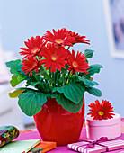 Gerbera in a red planter