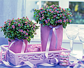 Exacum affine (Blue busy lizzie) in pink ceramic pots